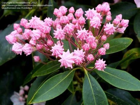 kalmia latifolia plantfiles pictures mountain laurel kalmia latifolia by