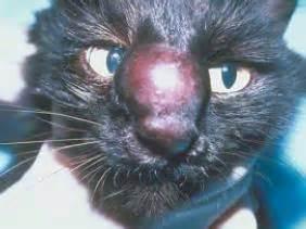Sho Kucing Untuk Jamur penyakit jamur cryptococcus pada kucing kucingkita