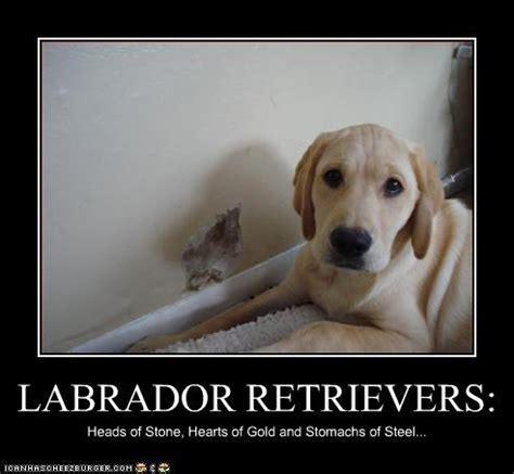 Labrador Meme - the pros cons of labradors the pet matchmaker