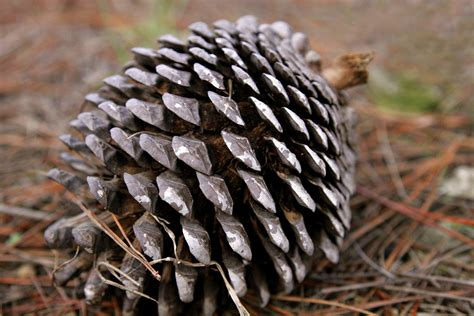 with pine cones file pine cone edit jpg wikimedia commons