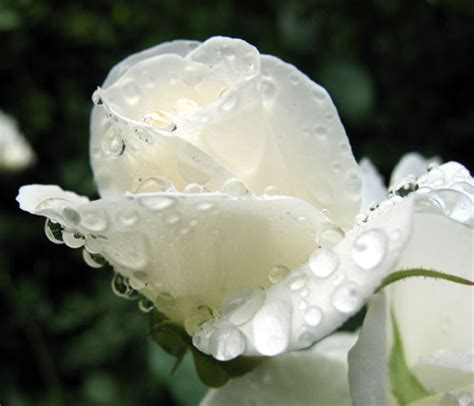 Bagnate Foto Una Rosa Bagnata Dalla Pioggia Filippo Foto