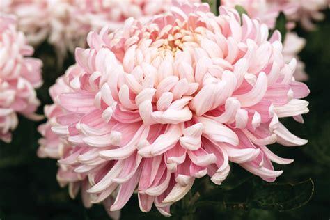 mum flower arrangement pink jpeg allouise pink chrysanthemum plants late from woolmans chrysanthemums