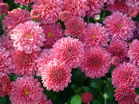 Chrysanthemen Vermehren by Chrysanthemen