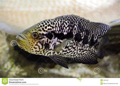 Jaguar Menaguense Cichlid jaguar cichlid stock image image of depth cichlasoma 3097661