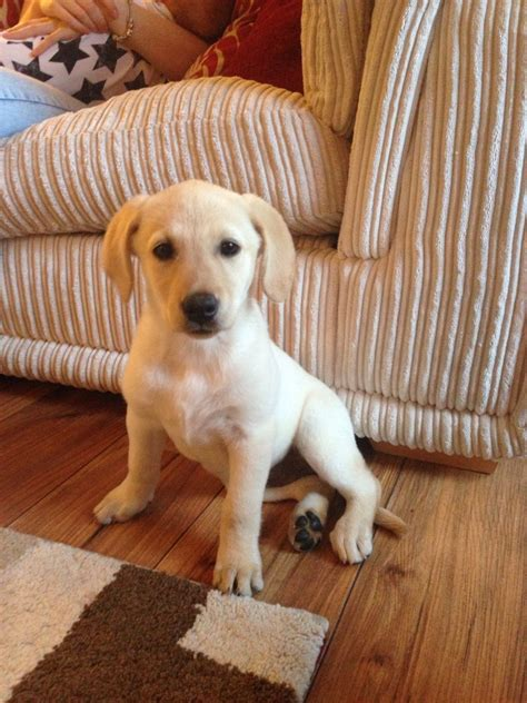 forever puppy for sale beautiful labrador puppy for forever home bradford west pets4homes