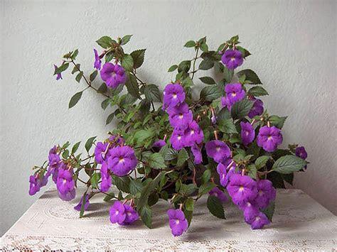 flower plants plants flowers 187 achimenes grandiflora