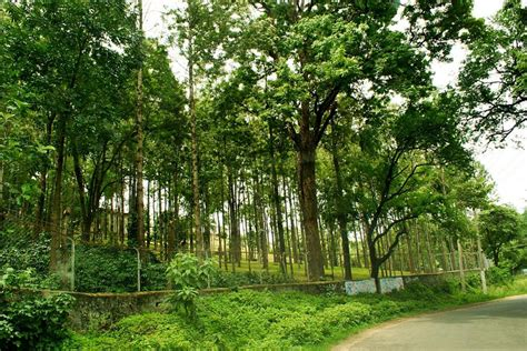 sandal wood tree marayoor the land of sandalwood trees