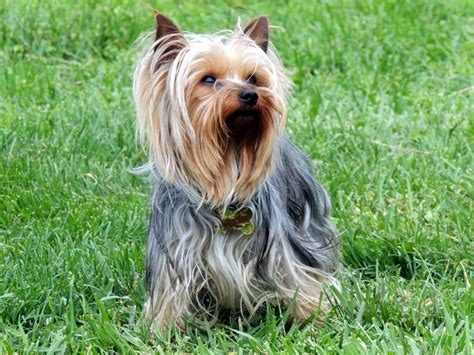 grey yorkie the happy woofer terrier delaware breeder puppies for sale