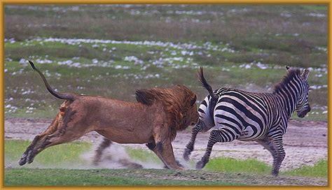 imagenes leones cazando fotos de animales cazando archivos imagenes de leones