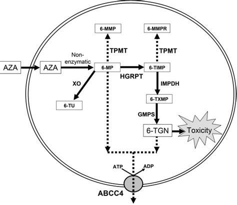 azathioprine dogs 6 mercaptopurine metabolism digoxine 0 25 vidal