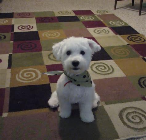 how to give a bichon a puppy cut bichon frise puppies frosty bichons
