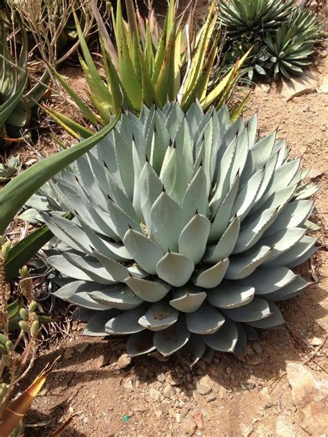 agave species drought resistant plants pinterest agaves