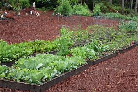 organic raised bed gardening raised garden beds beans tomatoes beets carrots peas