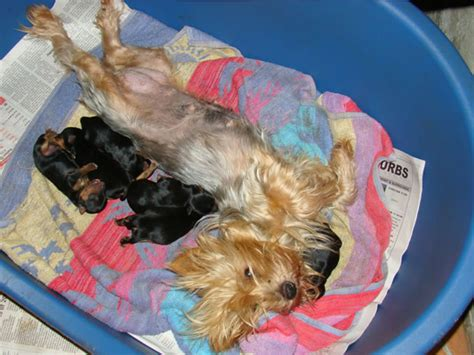 yorkie litter size terrier puppies for sale in cape town by yorkie puppy breeders