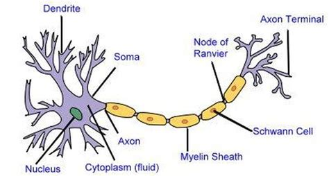 nerve cell diagram 2d labelled diagram nerve cell