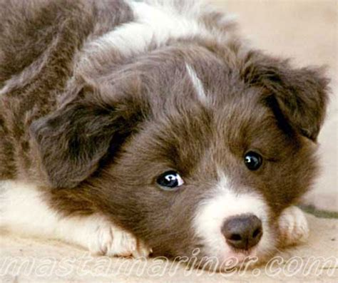 border collie puppy postcardsvirtual postcards  border