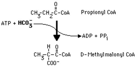 fatty acids    additional enzymes: propionyl coa
