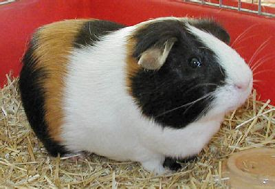 american guinea pig
