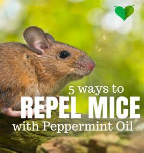 does peppermint repel mice yes get rid of mice easy