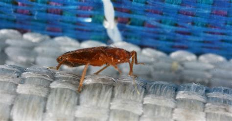 why do bed bugs come q a on everything you need to know about bedbugs