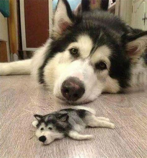 Boneka Hewan Anjing Siberian Husky cantik news foto lucu anjing husky yang manja pada teman