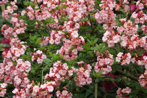 pink flowering shrub identification related keywords pink flowering shrub identification long