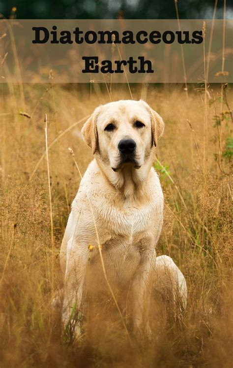 can i put diatomaceous earth on my diatomaceous earth for dogs a complete guide to this treatment