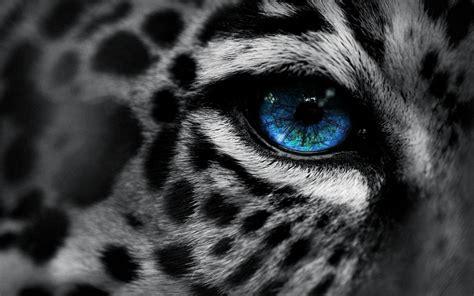 imagenes de jaguar blanco snow leopard wallpapers wallpaper cave