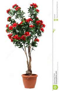 Twig Decor Rose Tree In A Pot Royalty Free Stock Photo Image 25916295