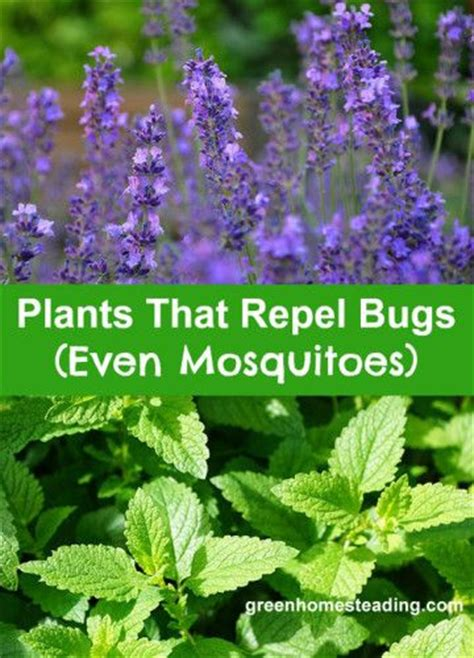 plants that repel bugs mosquitoes and plants on pinterest