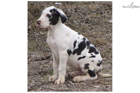 harlequin great dane puppies for sale in pa blue harlequin great dane puppies for sale