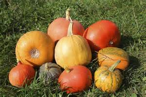 pumpkins pictures growing different kinds of pumpkins popular mini and