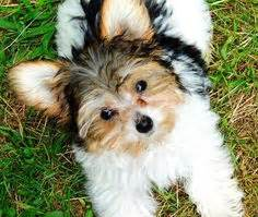 yorkie bichon mix price poo poochion bichon frise poodle mix breed puppies for sale for only 250