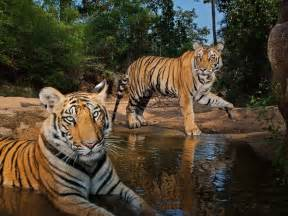 Essay On Tigers In India by Photo Of The Day Best Wallpapers Of 2012 Photo Gallery National Geographic