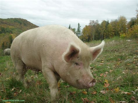 pig the pig animal wildlife
