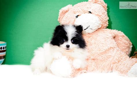 pomeranian puppies for sale in cleveland ohio pomeranian puppy for sale near cleveland ohio e95b22e2 30d1