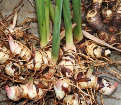 Menanam Lengkuas Hidroponik | cara mudah dan murah menanam lengkuas laos di polybag