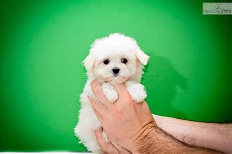 maltese puppies near me maltipoo puppies for free adoption clinic breeds picture