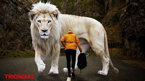 imagenes leon blanco fotos los leones mas grandes del mundo leones gigantes leon