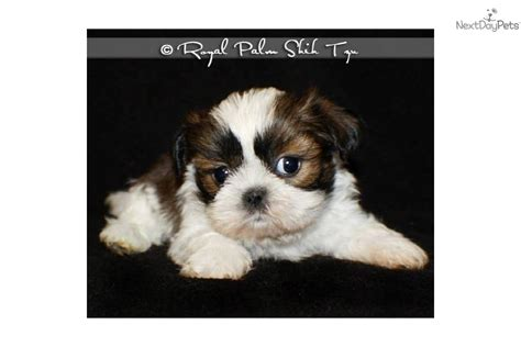 shih tzu puppies omaha shih tzu puppy for sale near omaha council bluffs nebraska 0f15d7c5 ed61