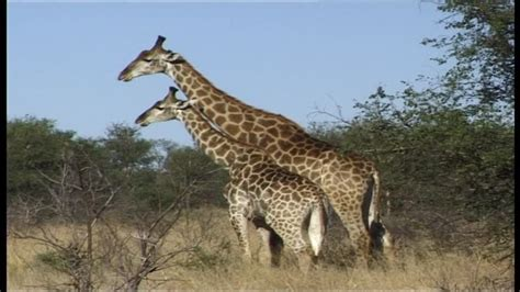 imagenes de jirafas macho girafe afrique du sud sd collection stock vid 233 o framepool