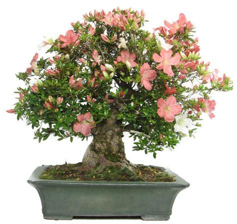 Azalea Shoo pin rhododendron bonsai on