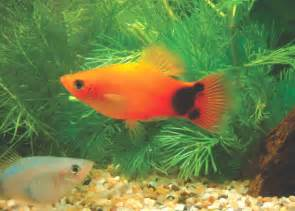 tropical fish international pte ltd fishes guppies