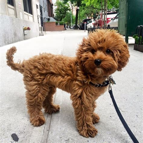 mini doodle cavapoo the 25 best puppies for sale ideas on