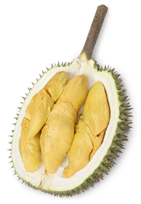 Bibit Durian Musang King 2017 bibit durian musang king asli dari supplier magelang