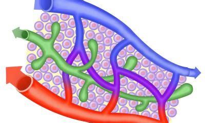 vasi linfatici sistema linfatrico i vasi linfatici