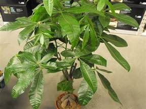 Flowers Poisonous Cats - mexican fortune tree braided money tree pachira aquatica