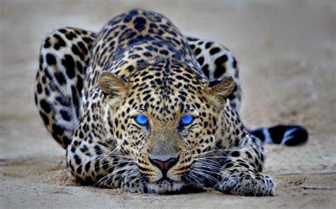 Black Blue The High Takes On Marc By Marc by леа ри леопард с голубыми глазами леа ри официальный