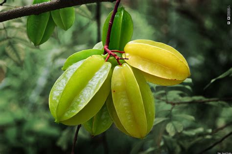 carambola fruit tree fruit or carambola the tropical treat we are