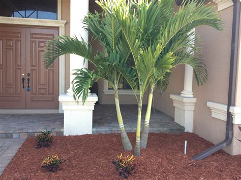 the botanical name of a grrmam christmas tree palm tree adonidia xlb palm trees